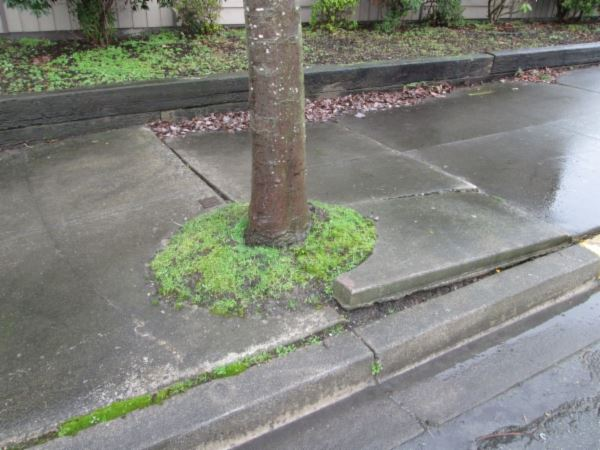 Tree Growing Into Sidewalk